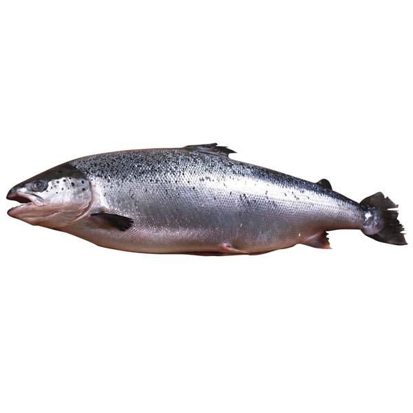 Salmon Head On Frozen