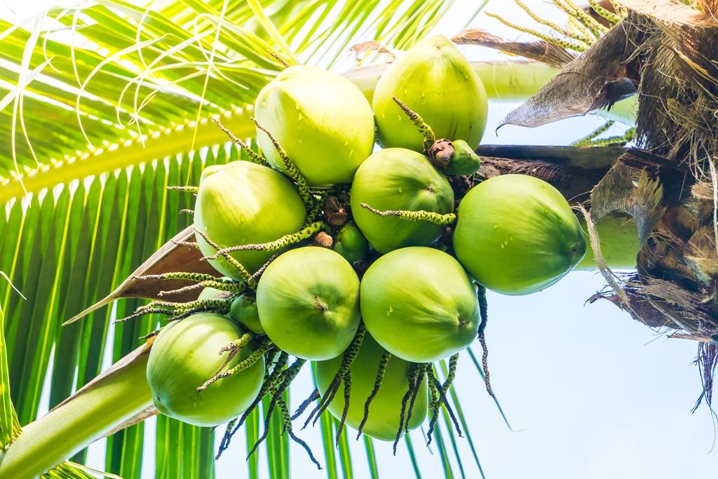 Coconut fruit tree